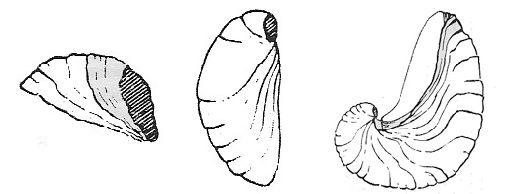 Gryphaea arcuata incurva